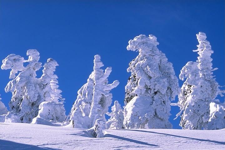 Freezing hard snowed trees WP