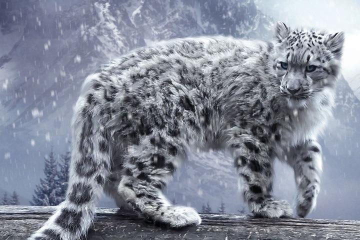 Snezny leopard WP
