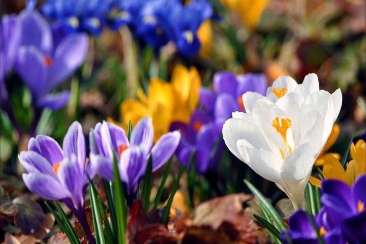 Crocus flowers spring WP