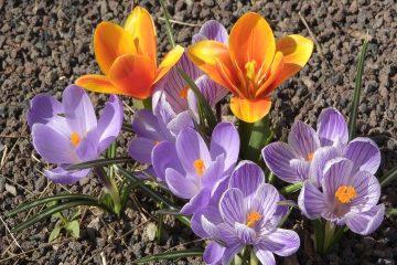 Saffron crocus AnteAr