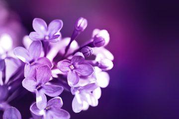 Kvet orgován AnteAr